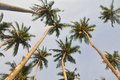 Top of coconut palm tree on blue sky Royalty Free Stock Photo