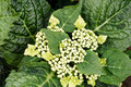 Top down view on hydrangea with white still closed blossoms arborescens Royalty Free Stock Photo
