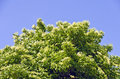 Top of a flourishing elder bush at sunshine with blue sky Royalty Free Stock Photos