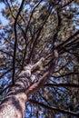 Top of pine tree Royalty Free Stock Photo