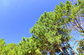 The top of pine tree Royalty Free Stock Photo