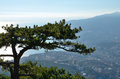 Top of pine tree Royalty Free Stock Photo