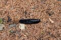 Top shot of black slug on the forest ground with blurred background Royalty Free Stock Photo