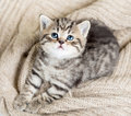 Top view of baby cat kitten on jersey lying Royalty Free Stock Photography