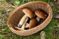 Top view of basket with some edible mushrooms Royalty Free Stock Photo
