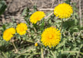 Top view of a bright yellow flowering dandelion plant Royalty Free Stock Photo