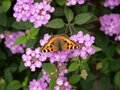 Top view of a butterfly on pink flowers in a garden captured during the daytime Royalty Free Stock Photo