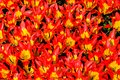 Top view close-up of gorgeous bright red-yellow lily tulips in bright sunlight. close together in a flower bed Royalty Free Stock Photo