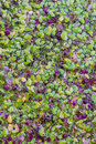 Top view closeup of duck weed plant floting on water. Royalty Free Stock Photo