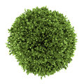 Top view of common holly bush isolated on white Royalty Free Stock Photo