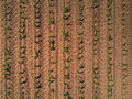 Top view of cultivated maize field from drone