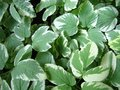 Top view of the fresh leaves of variegated goutweed