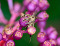 Top view of gypsy moth hanging on medinella magnifica flower macro selective focus at eye with blur background Royalty Free Stock Photo