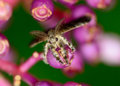 Top view of gypsy moth hanging on medinella magnifica flower macro selective focus at eye with blur background Stock Photos
