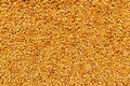 Top view of harvested barley wheat cereal grains Royalty Free Stock Photo