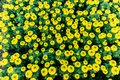 Top view of marygold flower in the garden. Royalty Free Stock Photo