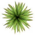 Top view of mountain cabbage palm tree isolated Stock Photos