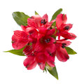 Top view of  red alstroemeria flowers Royalty Free Stock Photo