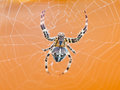 Top view of spider at cobweb araneus close up Royalty Free Stock Photography