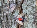Top view of Spotted Lanternfly Lycorma delicatula, Berks County, Pennsylvania Royalty Free Stock Photo