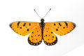 Top view of tawny coster butterfly open wing on white background Royalty Free Stock Image