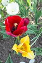 Top view of three red and yellow tulip flowers. Blooming flowers in the park. Colors of the flowers. Royalty Free Stock Photo