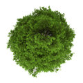 Top view of tree of heaven isolated on white Royalty Free Stock Photo