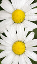 Top view of two daisies with rain drops Royalty Free Stock Photo