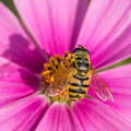 Top view of wasp on pink flower Royalty Free Stock Photo