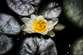 Top View of Water Lilly Royalty Free Stock Photo