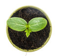 Top view of young plant in pot on white Royalty Free Stock Photos