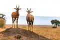 Topis standing in savanna grassland, Kenya, Africa