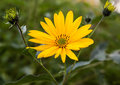 Topinambur. Jerusalem artichoke Stock Photography