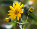 Topinambur jerusalem artichoke yellow flowers on soft nature background Stock Photography
