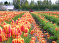 Topping the Tulips Royalty Free Stock Image
