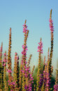 Tops of dark pink Purple Loosestrife flowers from close Royalty Free Stock Photo