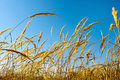 Tops dry cereal weeds Royalty Free Stock Photos