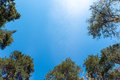 Tops of fir trees on blue sky Royalty Free Stock Photo