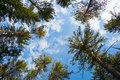 The tops of high cedars on the blue sky background with clouds Royalty Free Stock Images