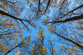 Tops trees in the autumn forest on a background of blue sky Royalty Free Stock Photo