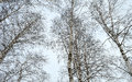 Tops of white birches against winter sky Royalty Free Stock Photo