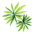 A topview of a plant with elongated leaves illustration on white background Stock Photography