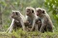 Toque macaque Royalty Free Stock Photo