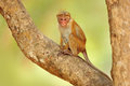 Toque macaque, Macaca sinica. Monkrey on the tree. Macaque in nature habitat, Sri Lanka. Detail of monkey, Wildlife scene from Asi Royalty Free Stock Photo