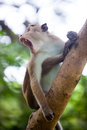 Toque macaque monkey Royalty Free Stock Photo