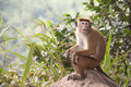 Toque macaque monkey sri lanka a macacaque with a red tuft of hair sitting on a rock in Stock Photography
