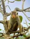 Toque macaque sitting on a tree at Cave Temple in Dambulla, Sri Royalty Free Stock Photo