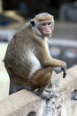 A Toque macaques in Sri Lanka. Royalty Free Stock Photo
