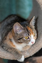 Torbie with white kitten six month old lays snug in cylindrical hidey hole on cat scratch post Stock Images