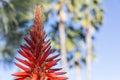 Torch aloe aloe arborescens krantz candelabra is a species of flowering succulent perennial plant that belongs to the genus Royalty Free Stock Photos